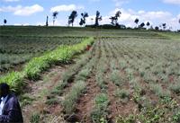 Pyrethrum farms in Kenya
